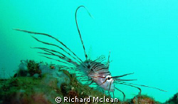 This young lion fish appeared to be walking along the sub... by Richard Mclean 